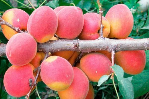 «саратовский рубин»: описание сортовых характеристик абрикоса и особенности ухода