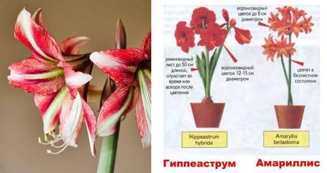 Выращивание амариллиса дома и на улице. посадка и уход за цветами, их фото
