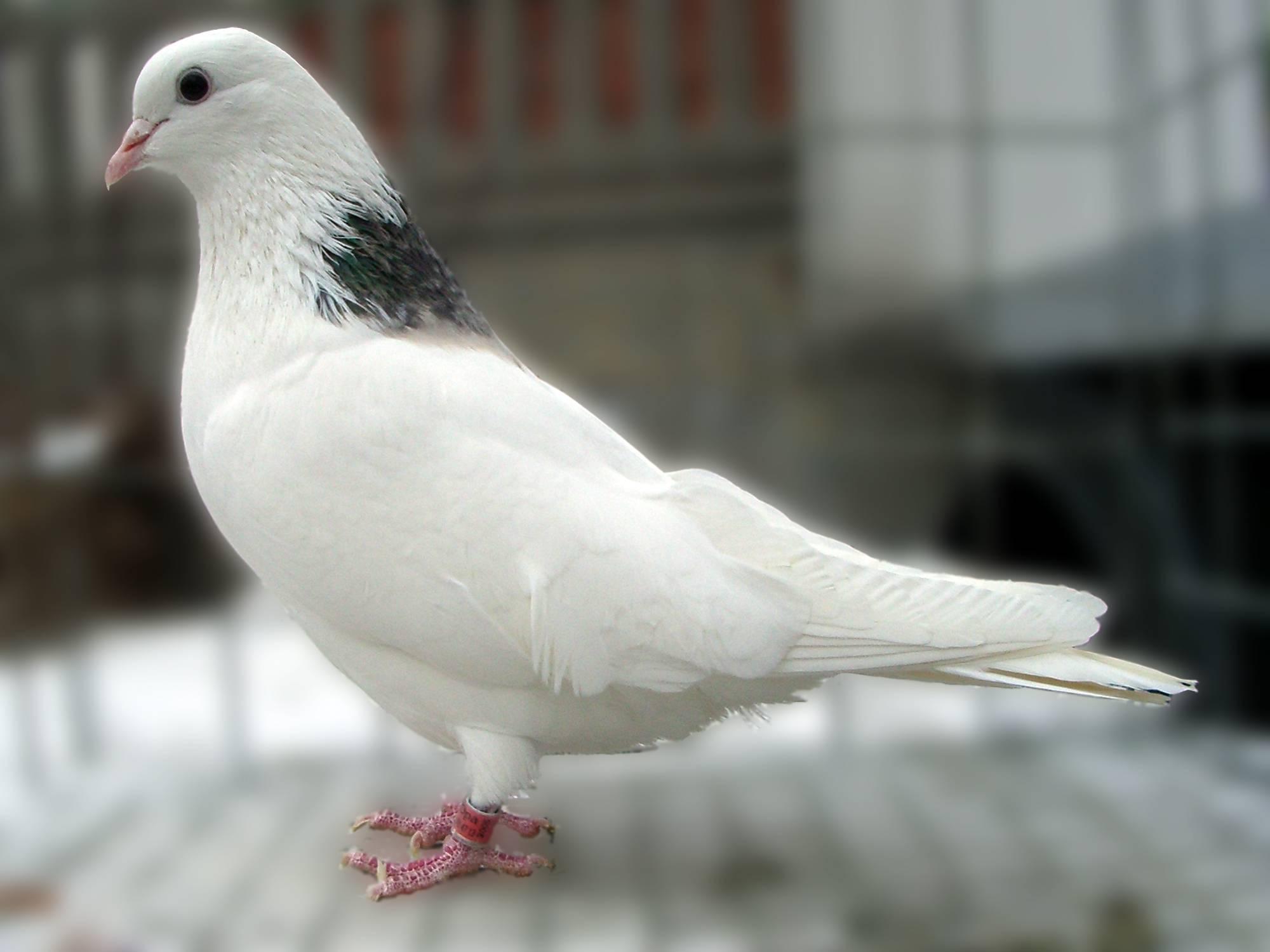 Высоколетные голуби: разновидности и их характеристика