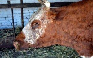 Распространенные заболевания коров | болезни коров | описание заболеваний крс