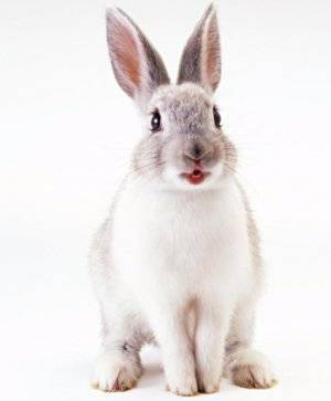 Сколько лет живут декоративные кролики, вислоухие и карликовые и как увеличить этот срок? selo.guru — интернет портал о сельском хозяйстве