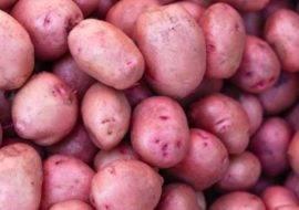 Картофель королева анна: описание и сравнение сорта в таблицах, уход