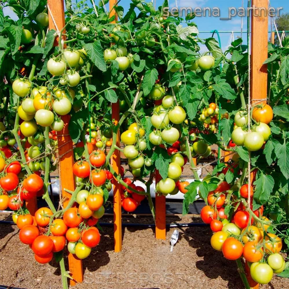 Как повысить урожайность помидор в теплице и открытом грунте   сад и огород