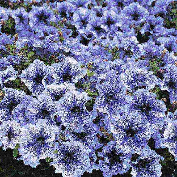 Карликовая петуния. как называются разновидности сорта мелкого цветка и в чем их особенности?