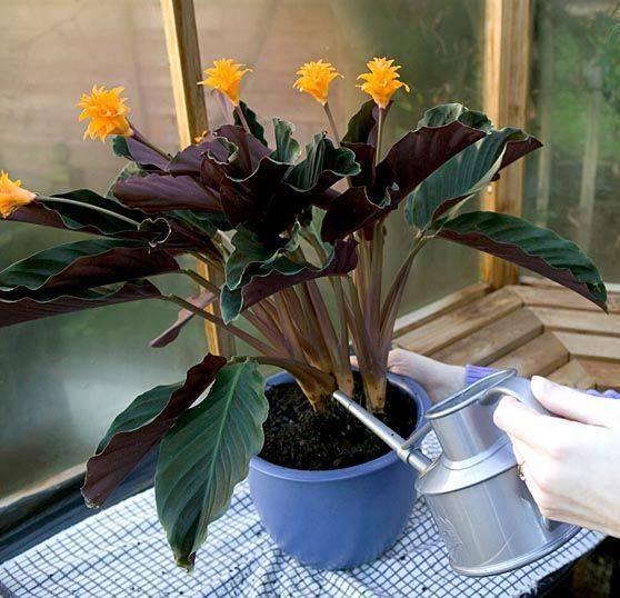 Калатея (calathea). правила ухода и размножения.   floplants. о комнатных растениях