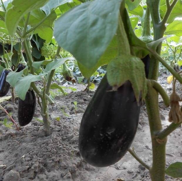 Уход и выращивание баклажан - схема подкормки и внесения удобрений