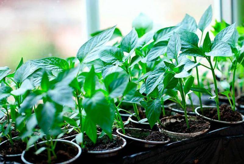 Почему не развивается рассада перцев: главные ошибки огородников: новости, перец, рассада, урожай, советы, сад и огород