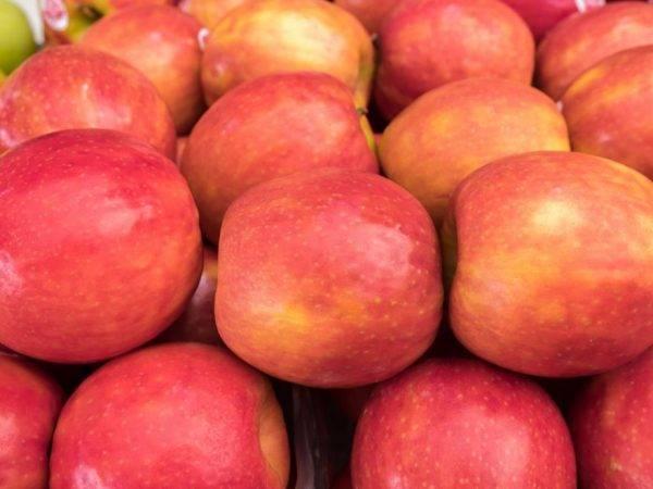 Раннеспелая яблоня аркад бирюкова: описание фото