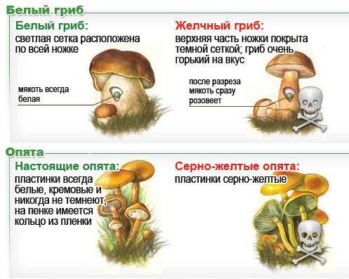Гриб ложноопёнок серно-желтый – ядовитый двойник съедобного