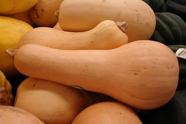 Тыква мускатная: сорта витаминный, баттернат и другие; характеристика, правила посадки и хранения