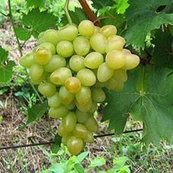 Виноград аркадия: характеристика и описание сорта, черная, устойчивость к болезням, срок созревания отзывы виноградарей