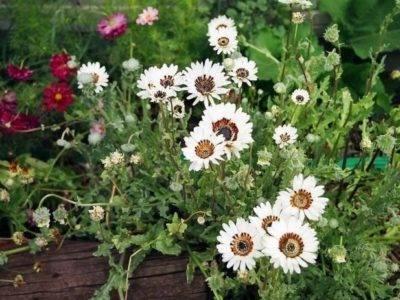 Венидиум: посадка, выращивание из семян, уход + фото