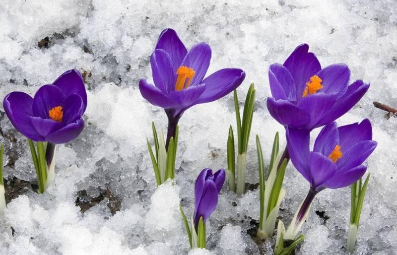 Как вырастить крокусы дома: посадка, особенности выращивания, уход