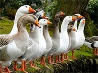 Гусиная ферма — оборудование и тонкости содержания птицы