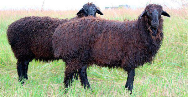 Все об овцах курдючных пород
