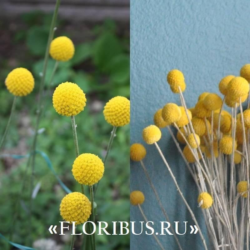 Краспедия шаровидная (барабанные палочки): фото сортов, выращивание из семян