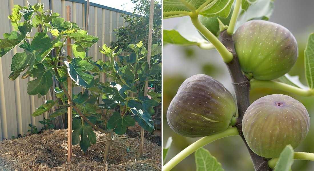 Инжир: посадка, уход и выращивание в домашних условиях
