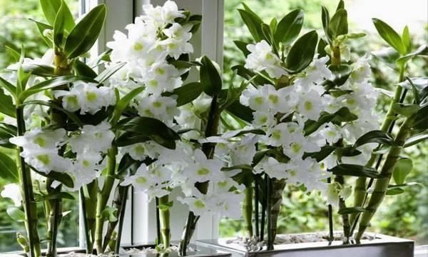 Орхидея дендробиум: уход в домашних условиях, размножение и пересадка