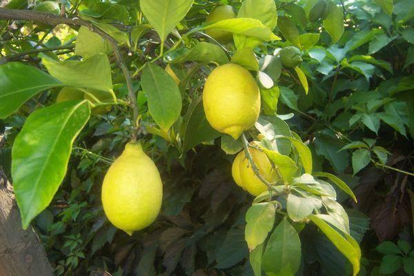 Лимон ташкентский: описание, уход в домашних условиях лимон ташкентский: описание, уход в домашних условиях