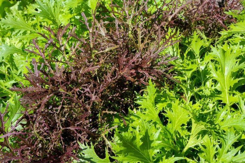 Выращивание японской капусты: обзор сортов, особенности ухода, полезные свойства. салат мицуна — японская капуста уличный цветок японская капуста уход