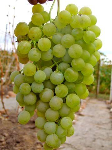 Виноград кишмишного типа — «сверхранний бессемянный»