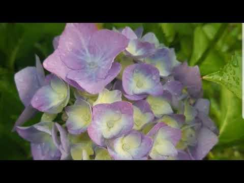 Гортензия комнатная (гидрангея макрофила): посадка горшочной, уход в домашних условиях, как вырастить из черенка