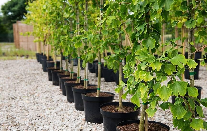 Гинкго билоба. выращивание, посадка, уход и размножение растения