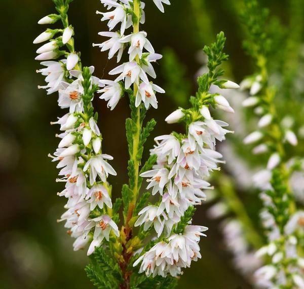Растение вереск: фото, выращивание, посадка и уход в домашних условиях