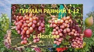 Винограда гурман ранний: фото, описание сорта
