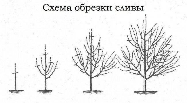 Обрезка сливы весной для начинающих в картинках пошагово