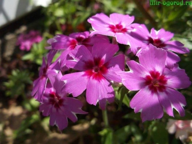 Флокс друммонда: выращивание из семян, посадка и уход