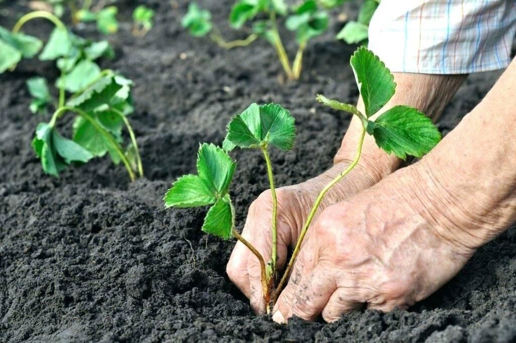 Как пересадить клубнику на новое место осенью: подготовка почвы и правила