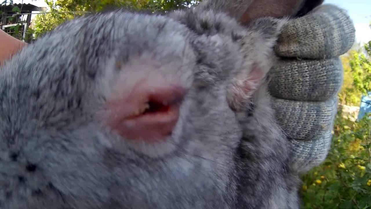Последняя информация о лечении миксоматоза. | кролики. разведение и содержание в домашних условиях