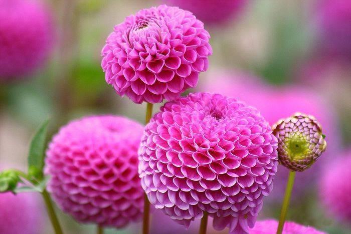 Георгины кактусовые: выращивание из семян, посадка и уход