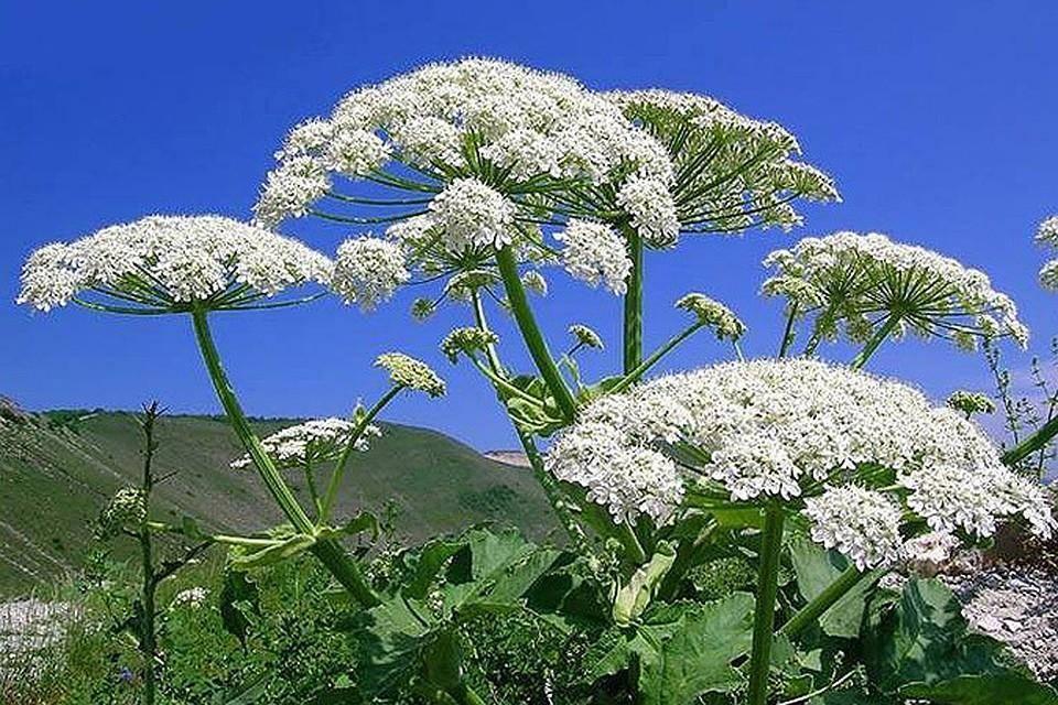 Борщевик: фото и виды, выращивание и уход за растением