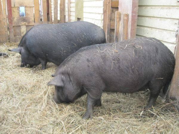Порода свиней кармалы: описание и характеристики породы