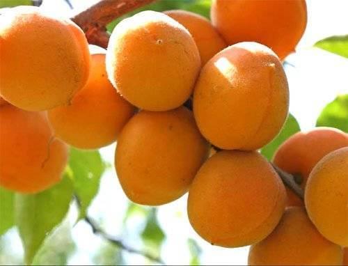 Описание и характеристика абрикоса сорта триумф северный, посадка и уход