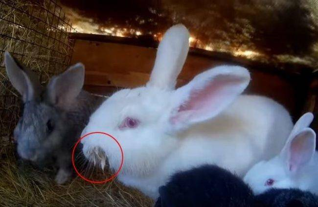 Чем лечить мокрую мордочку у кролей - мыдачники