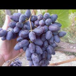 Виноград сувенир описание сорта фото отзывы видео