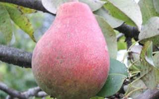 Особенности выращивания груши бергамот – dachampion
