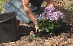 Посадка и уход за гортензией весной: фото + видео