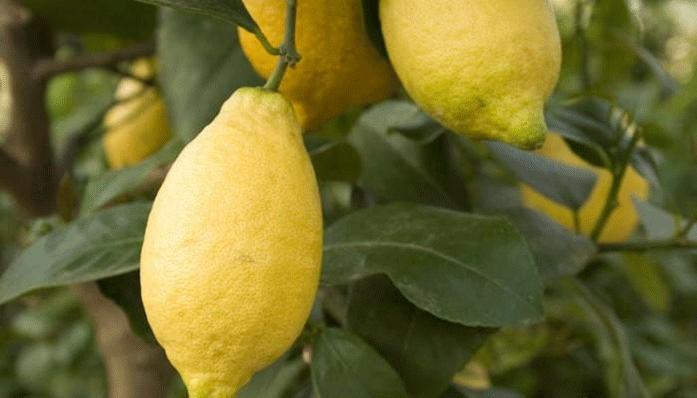 Обзор комнатных сортов лимона