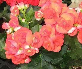 Бегония (begonia) — описание, выращивание, фото   на leplants.ru