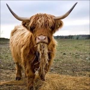 Англерская порода коров: характеристика и описание