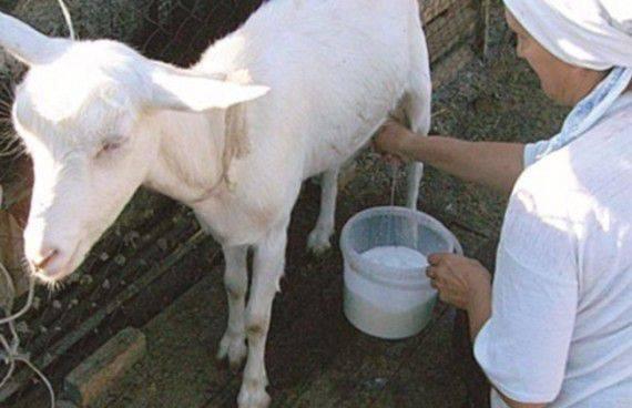 Как раздоить козу после первого окота, как повысить удой