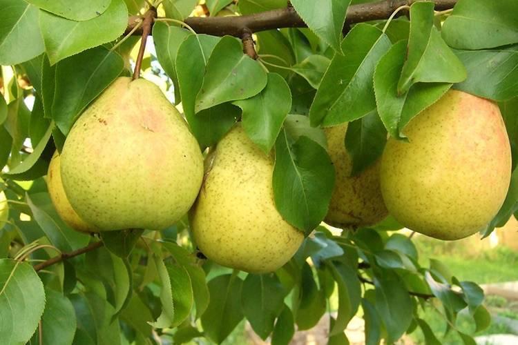 Один из самых популярных сортов — груша чижовская!