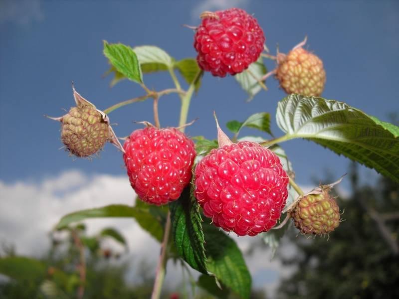 Описание сорта малины новость кузьмина, особенности выращивания и ухода