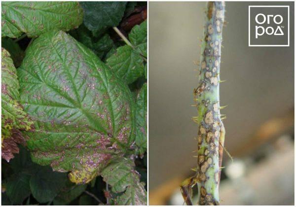 Антракноз винограда: описание с фото и чем лечить