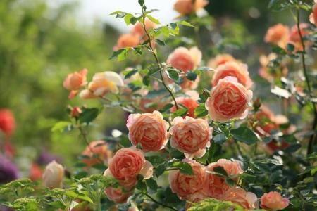 Как правильно ухаживать за розами весной