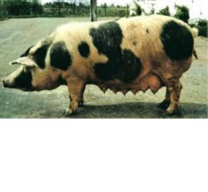 Сравнительная таблица по породам свиней